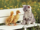 duck cat chat together 32467