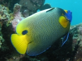 Yellow Mask AngelFish 33707