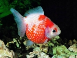 red white fish 33722
