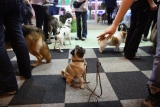 Dogs And Owners Gather For 2013 Crufts Dog Show 37186
