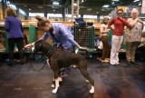 Dogs And Owners Gather For 2013 Crufts Dog Show 37280