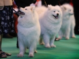 Dogs And Owners Gather For 2013 Crufts Dog Show 37320