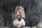 Snow Monkeys at the Central Park Zoo in NYC 40164