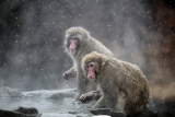 Snow Monkeys at the Central Park Zoo in NYC 40208