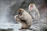 Snow Monkeys at the Central Park Zoo in NYC 40215
