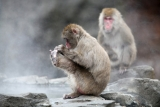 Snow Monkeys at the Central Park Zoo in NYC 40233