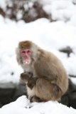 Snow Monkeys at the Central Park Zoo in NYC 40249