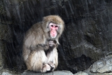 Snow Monkeys at the Central Park Zoo in NYC 40259