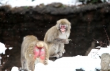Snow Monkeys at the Central Park Zoo in NYC 40263