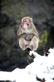 Snow Monkeys at the Central Park Zoo in NYC 40266