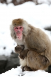 Snow Monkeys at the Central Park Zoo in NYC 40290