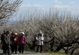 Plums in Full Bloom in Hyogo 43369