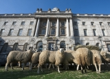 Sheep Graze at Somerset House 43790