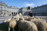 Sheep Graze at Somerset House 43791