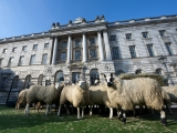 Sheep Graze at Somerset House 43800