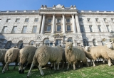 Sheep Graze at Somerset House 43826