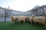 Sheep Graze at Somerset House 43836