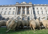 Sheep Graze at Somerset House 43850