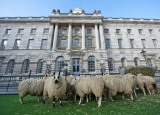 Sheep Graze at Somerset House 43860