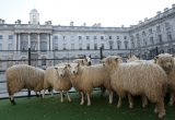 Sheep Graze at Somerset House 43870