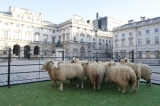 Sheep Graze at Somerset House 43877