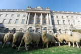 Sheep Graze at Somerset House 43883
