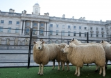 Sheep Graze at Somerset House 43885