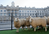 Sheep Graze at Somerset House 43913