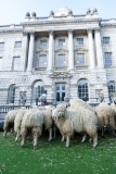 Sheep Graze at Somerset House 43914