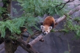 Rusty the Red Panda in Good Condition Following Capture, But Zoo Still Has No Idea How He Escaped 44663