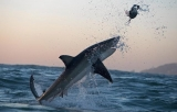 Discovery Channel begins its annual Shark Week Sunday night, but other networks are also getting into the swim of things 45709