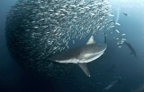 Sharks help keep the oceans healthy 45712