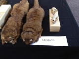 Olinguito, New Mammal Species, Announced By Smithsonian Researchers 46034
