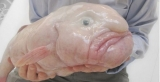 Grotesque Blobfish Proclaimed Ugliest Animal 46441
