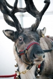 Boffins reveal truth about Rudolph the red nosed Reindeer 48386